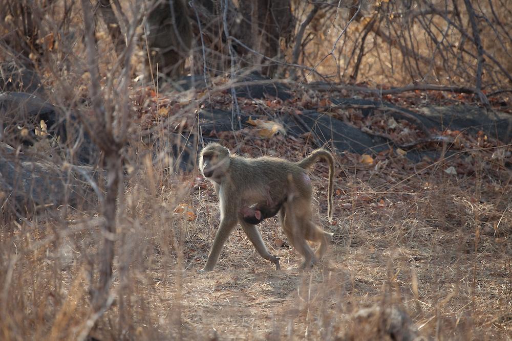 Baboon, Ruaha National Park
