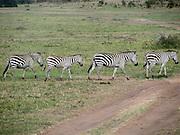 Kenya, Masai Mara common zebra equus granti