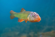 Hornyhead Chub (male with nuptial tubercles<br />