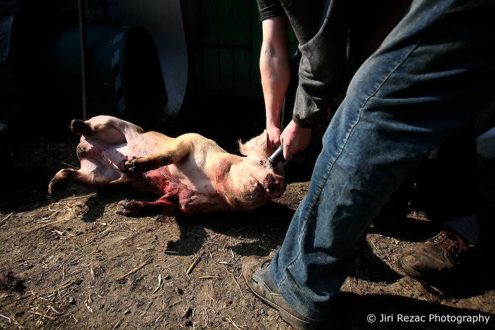 CZECH REPUBLIC VYSOCINA NEDVEZI 10APR09 - Death by piston gun and bleeding of dying pig during slaughter in the backyard of a farm in the village of Nedvezi in the Czech Republic. Slaughtering pigs at home is an old tradition in central and eastern Europe. EU regulations and health and hygiene rules state that animals can only be slaughtered by licensed butchers...jre/Photo by Jiri Rezac..© Jiri Rezac 2009