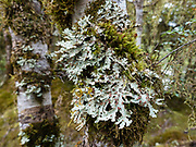Large lichen & moss on tree. The Milford Track in Fiordland National Park, Southland region, South Island of New Zealand. In 1990, UNESCO honored Te Wahipounamu - South West New Zealand as a World Heritage Area.