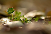 Sprouting of a Bermuda Buttercup (Oxalis pes-caprae) in spring