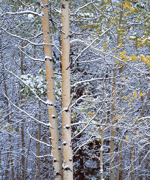 Aspen trees record the season's first snow in Kananaskis Country, Alberta, Canada. ©Ric Ergenbright