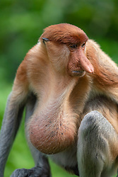 A sick proboscis monkey pictured at Labuk bay, on August 5, 2019 near Sandakan city, State of Sabah, North of Borneo Island, Malaysia. Sick proboscis monkey seen very rare and it is probably cancer due to environmental reason. Palm oil plantations are cutting down primary and secondary forests vital as habitat for wildlife including the critically endemic proboscis monkeys. Photo by Emy/ABACAPRESS.COM