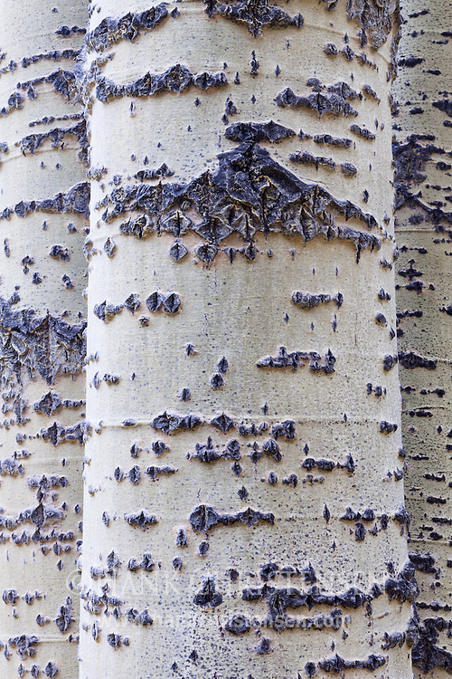 White aspen trunks are stacked side by side in a thick forest