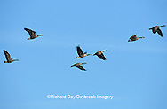 00748-03219 Canada Geese (Branta canadensis) in flight Horseshoe Lake Cons. Area   IL