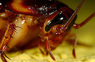Deu, Deutschland: Porträt einer Amerikanischen Schabe (Periplaneta americana) | Deu, Germany: Portrait of an American cockroach (Periplaneta americana) |