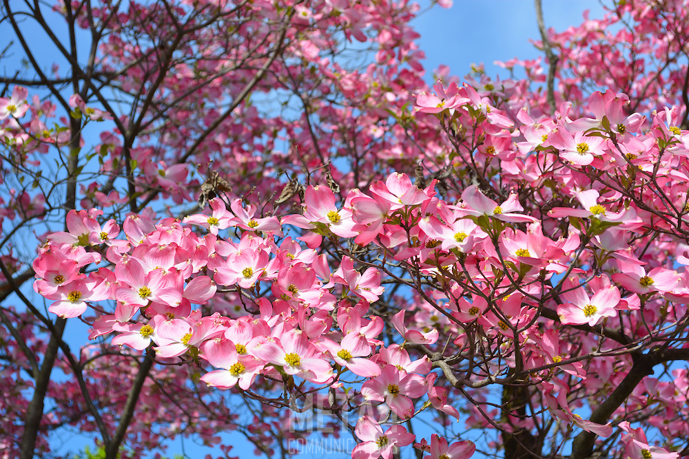 The beauty of Spring cherry blossoms upclose and personal!