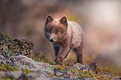 Arctic foxes 1