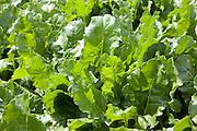 Sugar beet leaves