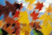 Fallen Autumn leaves.