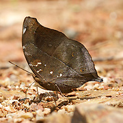 Doleschallia bisaltide, commonly known as the Autumn Leaf, is a nymphalid butterfly found in Asia.