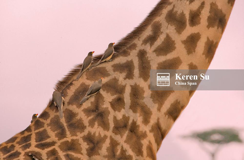 Birds on the long neck of giraffe on the savanah, Masai Mara, Kenya
