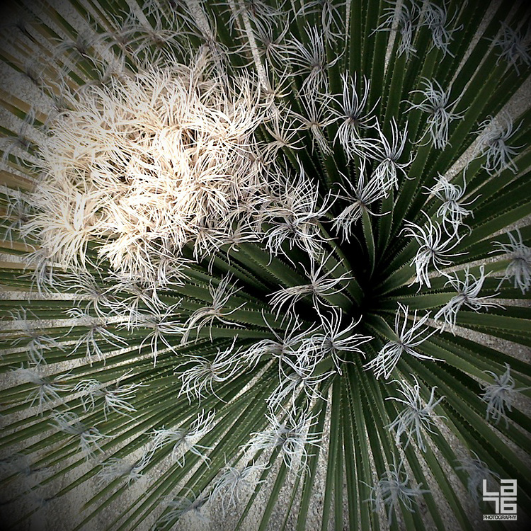 Photograph of a blooming cactus / cacti in Capella Pedregal, Cabo San Lucas resort, Baja California, Mexico.