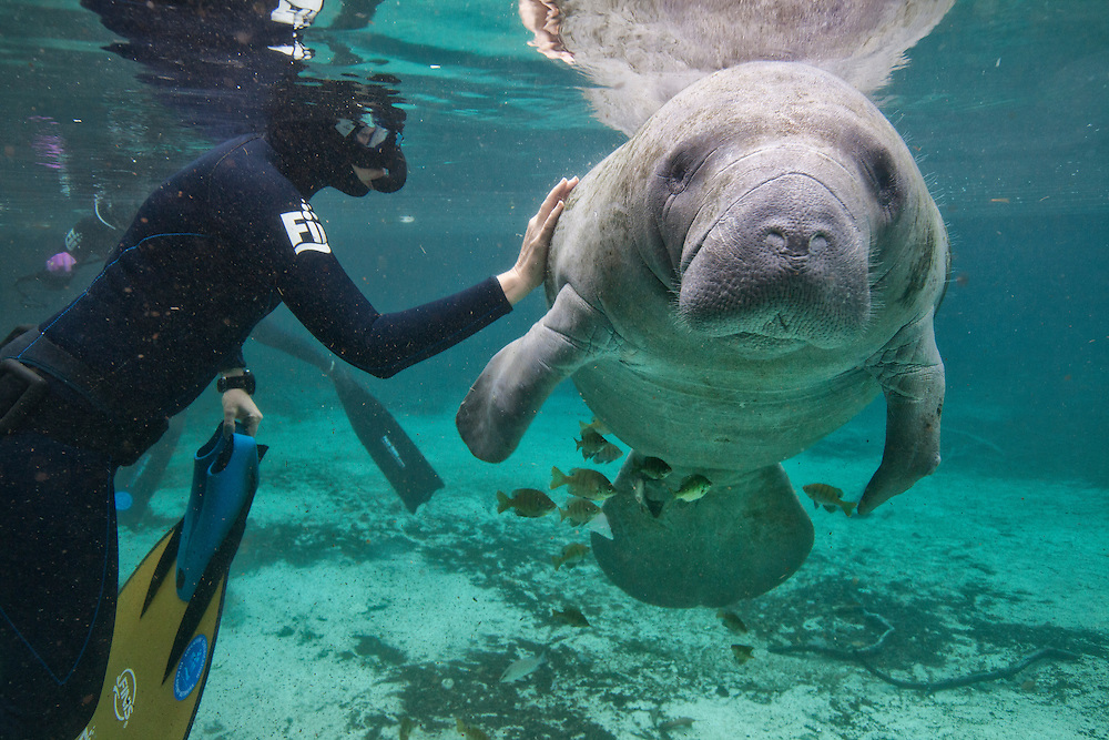 "Portrait of a West Indian manatee or ""Sea Cow""being touched by a tourist(Trichechus manatus), Crystal River, Three Sisters Spring, Florida."