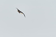 Adult eagle in high speed descent.