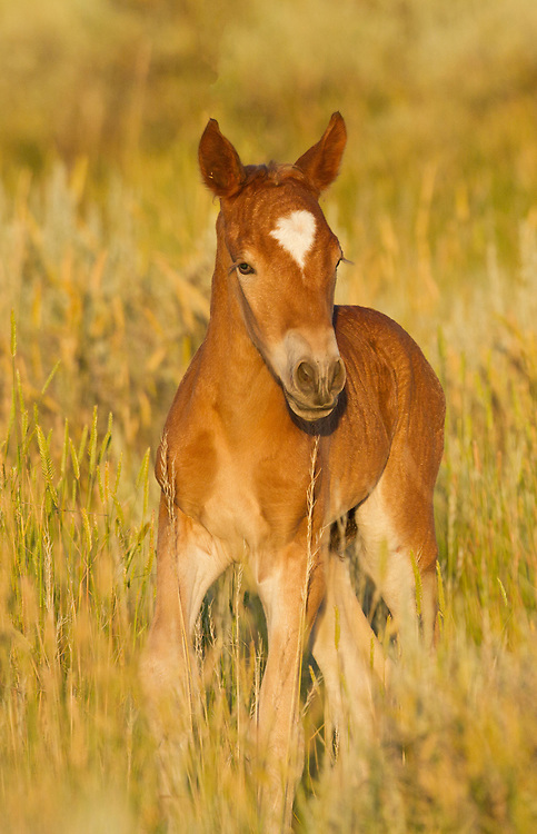 A newborn mustang foal tries out his legs with a few wobbly steps. Foals are on their feet within an hour after birth and are able to keep up with their mother and the herd soon after.