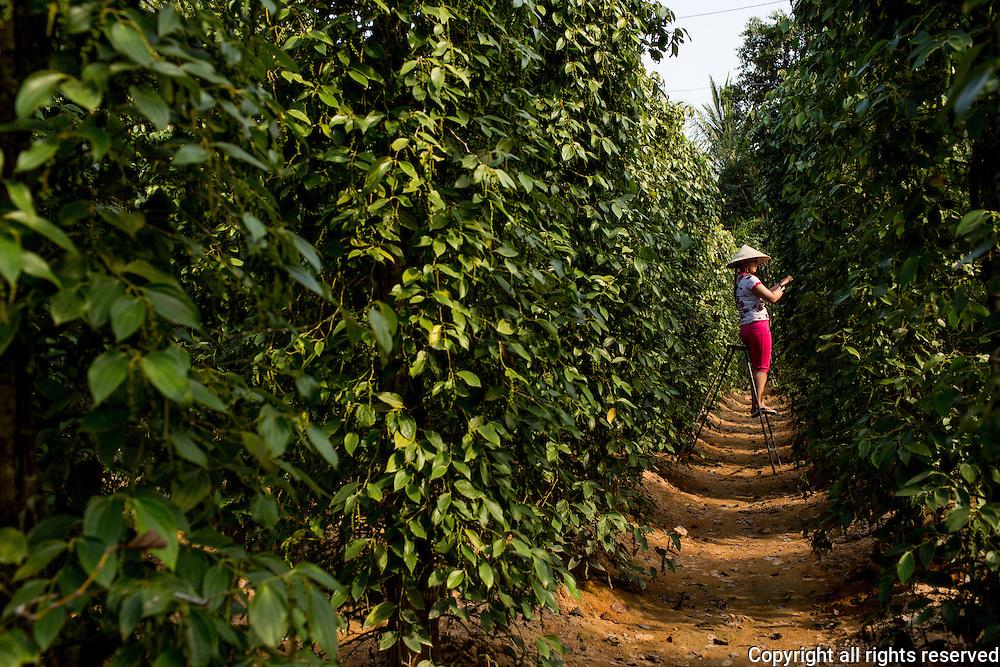 pepper farm near Duong Dong town