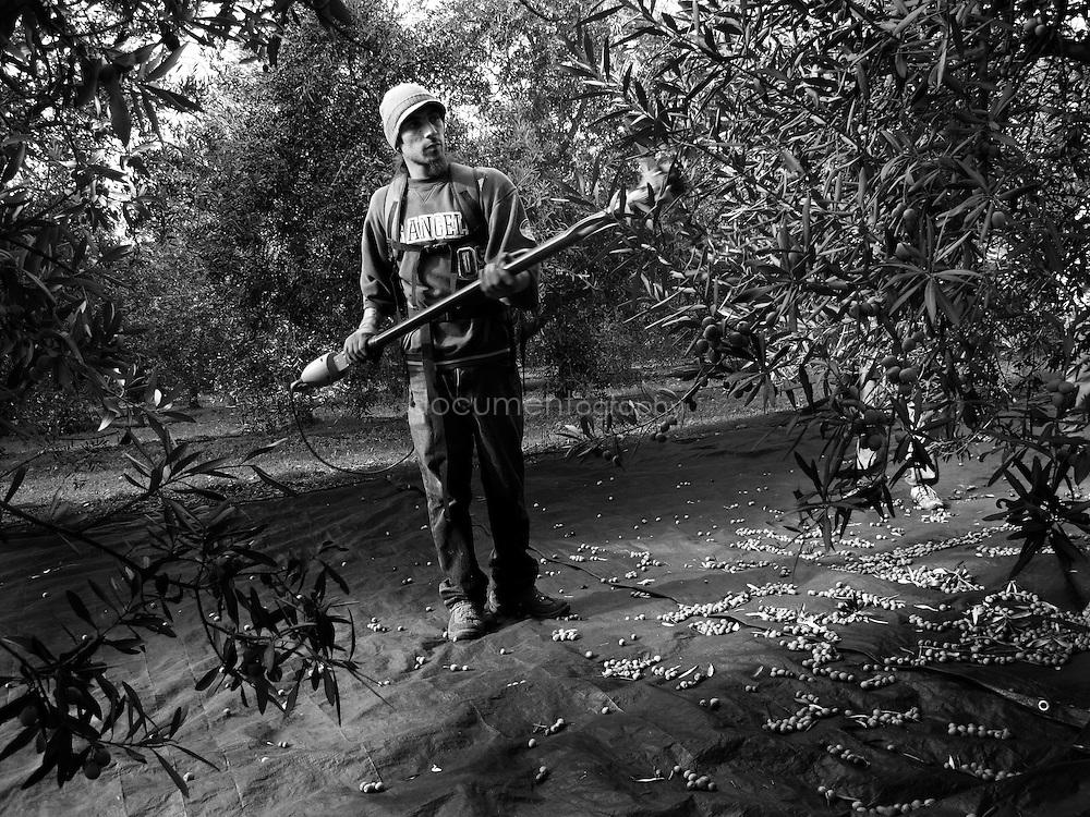 A worker harvesting an olive tree, Domaine du Jasson, La Londe Les Maures, France.