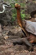 Galapagos Giant Tortoise - Saddleback form (Geochelone elephantophus hoodensis)<br /> Charles Darwin Research Station. Puerto Ayora, Santa Cruz Island<br /> GALAPAGOS ISLANDS, ECUADOR.  South America<br /> This species is from Española or Hood Island. They have a very pronounced saddleback carapace. This is one fo the conservation sucess stories. In 1964 the entire population consisted of 3 males and 12 females. They were taken to the Charlse Darwin Research Station in 1965 and were the first tortoises to be bred in captivity. By 2000 the 1,000 young tortoise had been released back on Espaõla.