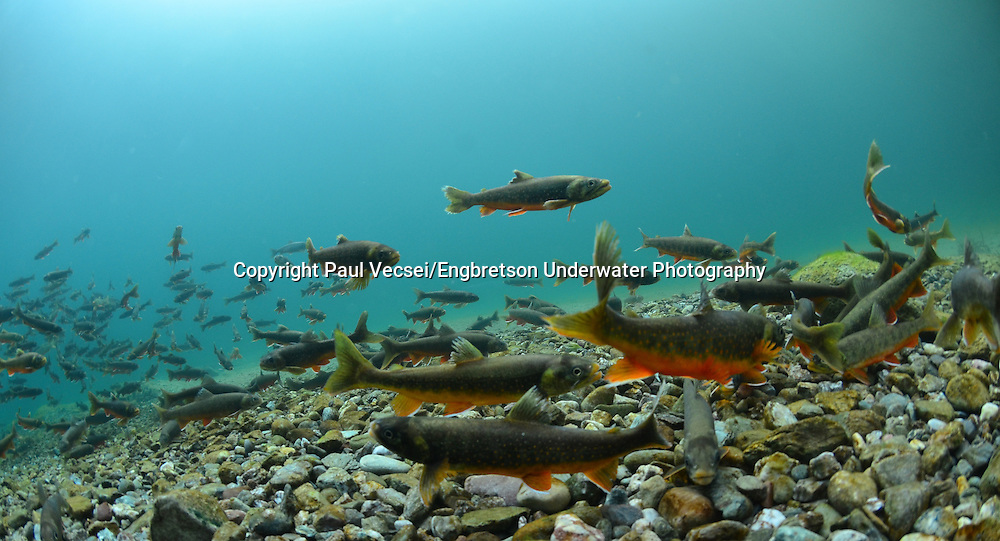 Arctic Char<br />