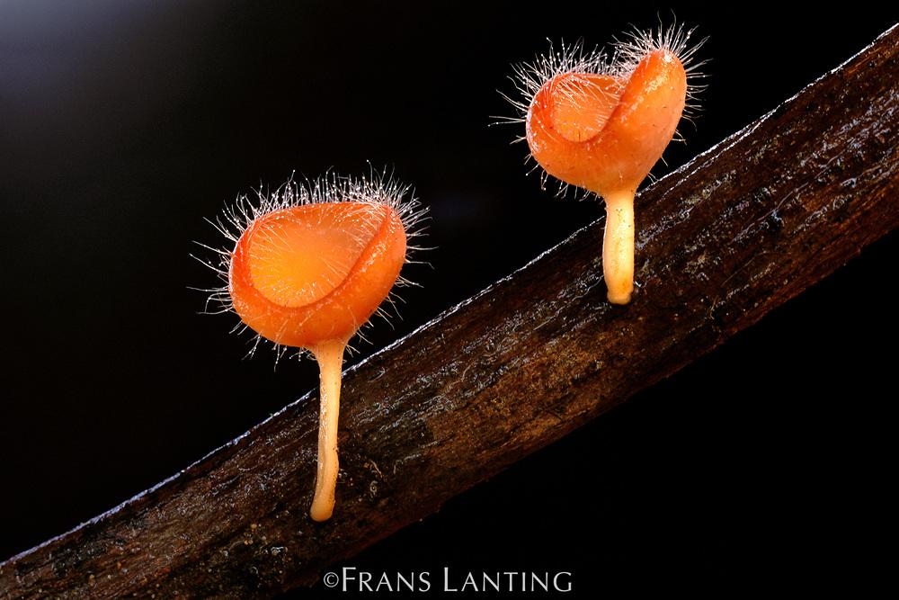 Cup fungi, Cookeina tricholoma, Mt Kinabalu National Park, Borneo