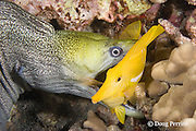 undulated moray eel or leopard moray, Gymnothorax undulatus, seizes sleeping yellow tang, Zebrasoma flavescens, while feeding at night (note teeth piercing base of dorsal fin), Keahole, Kona, Hawaii ( Central Pacific Ocean ) 1st in sequence of 4