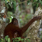 Orangutan, (Pongo pygmaeus) Portrait of mother and baby in rain forest. Borneo. Malaysia . Controlled Conditons.