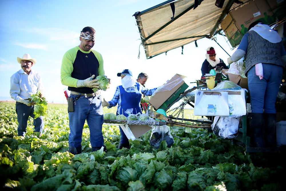 BRAWLEY, CA-JAN 31:  Mexican Farm workers harvest Lettuce in a field outside of Brawley, California, in the Imperial Valley, on Tuesday, January 31, 2017. Many of the farm workers expressed fears that they wouldn't be able to continue working in the United States under the President Trump's administration.