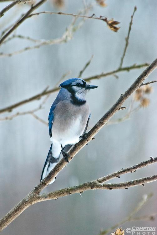 Perched Blue Jay (Cyanocitta cristata)