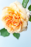 Rosa 'Port Sunlight' - English Rose by David Austin introduced 2007