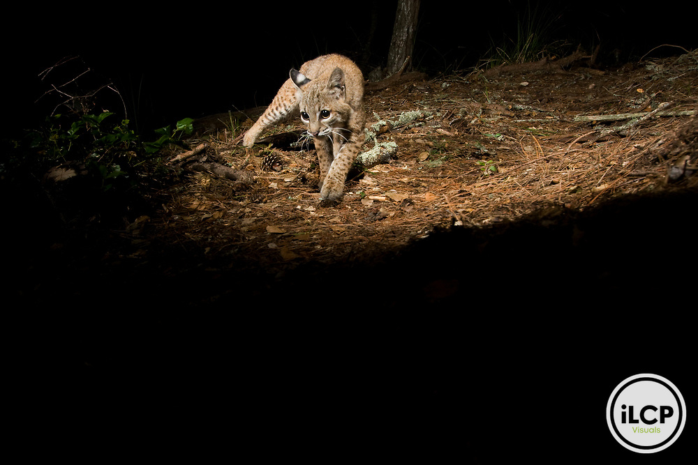 Bobcat (Lynx rufus californicus) juvenile walking at night, Aptos, Monterey Bay, California