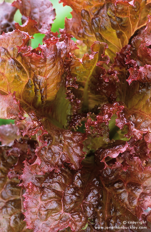 Lettuce 'Bijou'