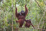 Bornean Orangutan <br /> Pongo pygmaeus<br /> Dominant male with female <br /> Tanjung Puting National Park, Indonesia