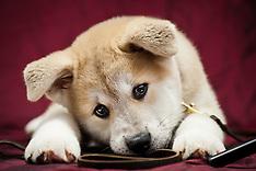 Zapora - Akita Puppy