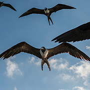 Frigate birds flying low. Wyndham Reef Resort. East End, Grand Cayman