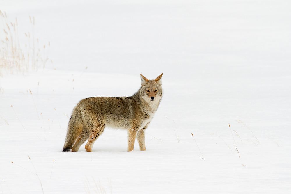 Often starting in late October and not ending until mid-June, winter is by far the longest season in the Greater Yellowstone Ecosystem.  This coyote will have to put his hunting skills to the test to survive until the spring thaw.