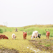 CAPTION: Cattle grazing on the weed-infested edge of Lake Kyoga, as fishermen return with their catch. LOCATION: Lake Kyoga, Abrepoli, Kaberamaido District, Uganda. INDIVIDUAL(S) PHOTOGRAPHED: N/A.