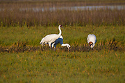 Whooping Crane; Grus americana; endangered species, Winter, Texas; Aransas National Wildlife Refuge; Aransas Bay; Intracoastal Waterway;