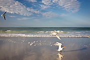 Royal terns on beach Laughing Gull in flight, shoreline at Anna Maria Island, Florida, USA