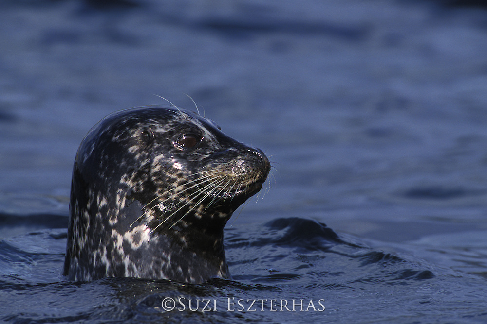Harbor Seal<br /> Phoca vitulina<br /> A female harbor seal watching her pup intently. Harbor seal mothers are very attentive, especially those with young pups.<br /> Point Lobos State Reserve, CA
