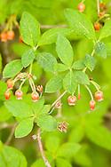 Closeup of flowers of Fool's Huckleberry bush at Lowell Point on the Kenai Peninsula near Seward in Southcentral Alaska. Spring. Morning.