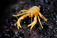 Blind crab (Munidopsis polymorpha), endemism of the Jameos del Agua cave, a small cave with a lake inside. Lanzarote Island, Canary Islands, Spain.