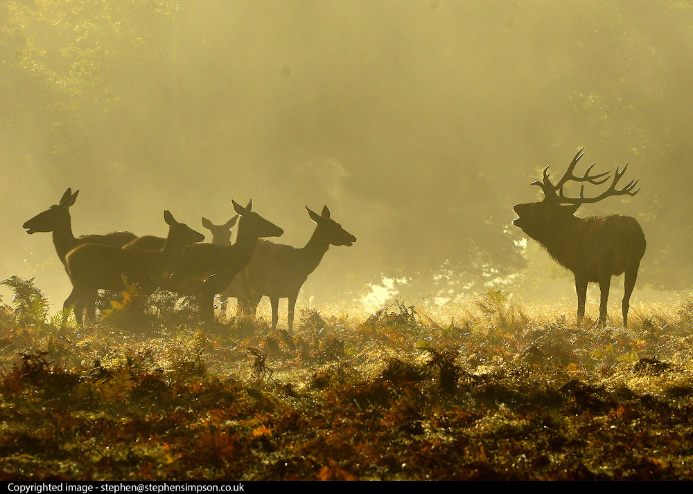 © Licensed to London News Pictures. 14/10/2012. Richmond, UK. The start of the 'Rutting' season. A large Red Deer stag roaring and barking near his herd.  Early morning mist and sunshine in Richmond Park, Surrey, today 14th October 2012. Photo credit : Stephen Simpson/LNP