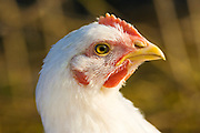 Free-range chicken of breed  Isa 257 roams freely at Sheepdrove Organic Farm , Lambourn, England