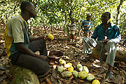 Daniel Apia Kouame Gboko (L) and his friend Severin crack cocoa pods on Daniel's cocoa plantation near the town of Moussadougou, Bas-Sassandra region, Cote d'Ivoire on Monday March 5, 2012.