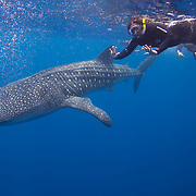 Underwater shot of a Whale Shark (Rhincodon typus) and two snorkelers at Gladden Spit and Silk Cayes Marine Reserve, off the coast of Placencia, Stann Creek, Belize