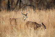 Whitetail buck in fall habitat during the rut