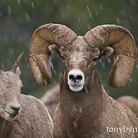 wild rocky mountain big horn sheep