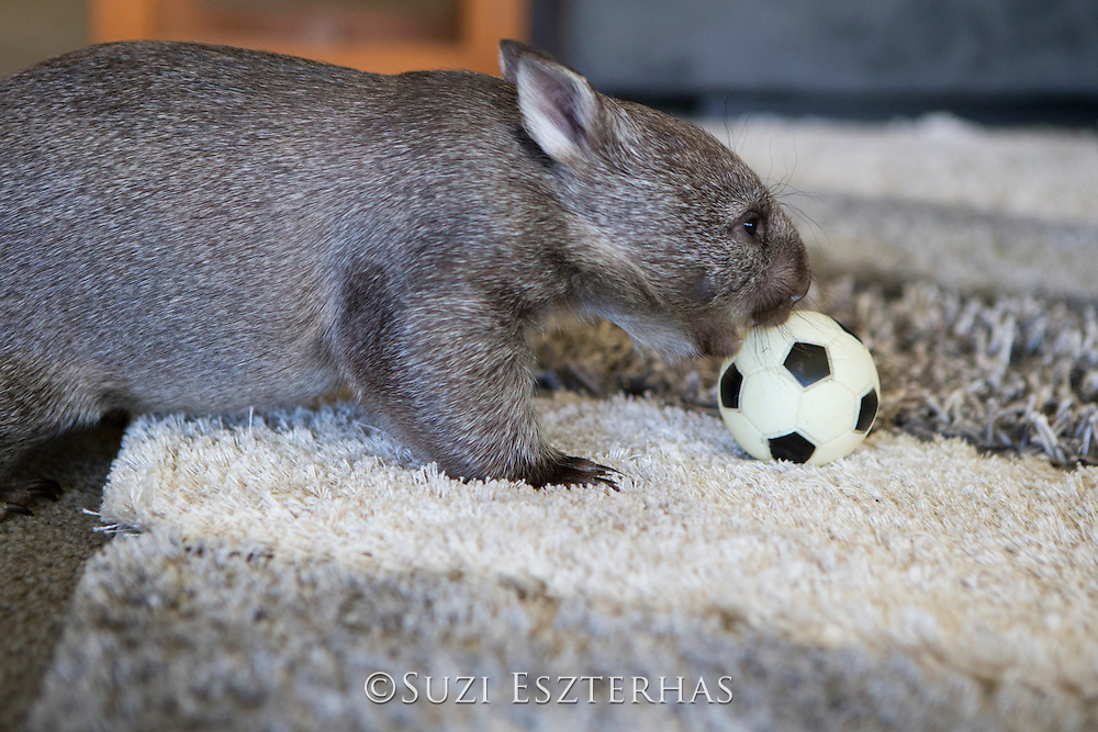 Common Wombat <br /> Vombatus ursinus<br /> Seven-month-old orphaned joey (mother was hit by car) playing with ball in foster home<br /> Bonorong Wildlife Sanctuary, Tasmania, Australia<br /> *Captive- rescued and in rehabilitation program